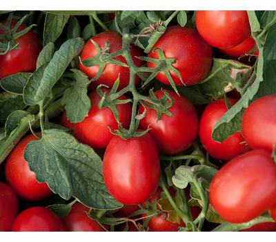 Астерикс F1 - томат процессинг, 2 500 семян, Syngenta/Сингента (Голландия), фото 1