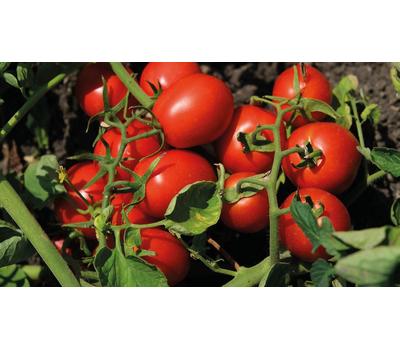 Н 6438 F1 - томат для переработки, 1 000 и 5 000 семян, Nunhems/Нунемс (Голландия), фото 1