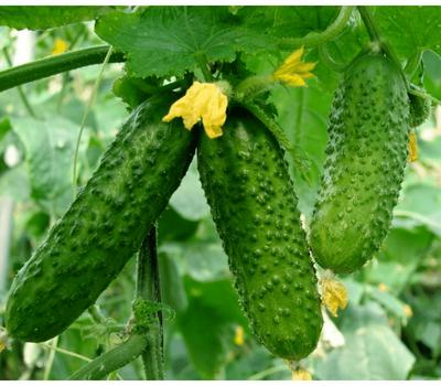 Маша F1 - огурец партенокарпический, 250 и 1 000 семян, Seminis/Семинис (Голландия), фото 1