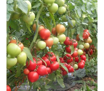 Вегго F1 - семена томатов, 500 семян, Enza Zaden/Энза Заден (Голландия), фото 1