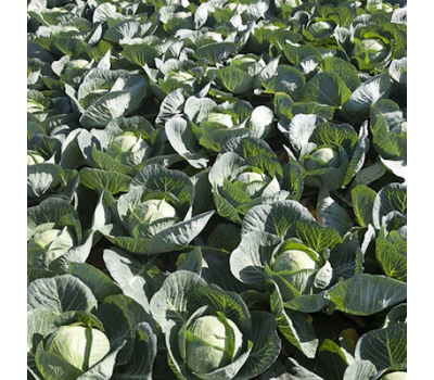 Марчелло F1 - капуста белокочанная, 1 000, 2 500 и 10 000 семян, Rijk Zwaan/Райк Цваан (Голландия), фото 5