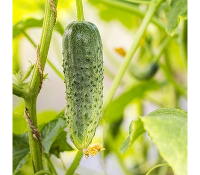 Аргумент - семена огурца партенокарпического, 1 000 семян, Гавриш/Gavrish (Россия), фото 1