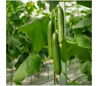 Камертон - семена огурца партенокарпического, 1 000 семян, Гавриш/Gavrish (Россия), фото 2