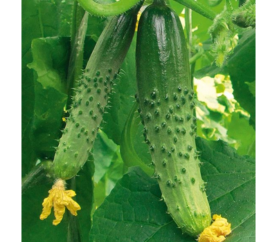 Колорит F1 - семена огурца пчелоопыляемого, 100 и 1 000 семян, Гавриш/Gavrish (Россия), фото 1