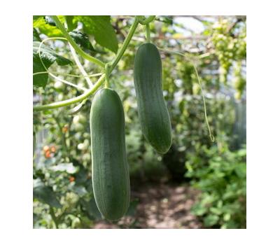 Промини F1 - семена огурца партенокарпического, 1 000 семян, Гавриш/Gavrish (Россия), фото 1