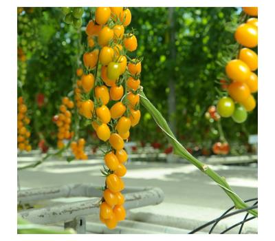 Кэнди F1 - семена томатов, Гавриш/Gavrish (Россия), фото 2