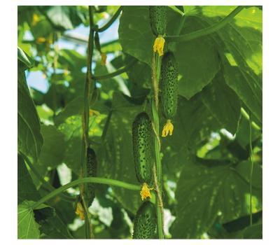 Марсель F1 - семена огурца партенокарпического, 1 000 семян, Гавриш/Gavrish (Россия), фото 2