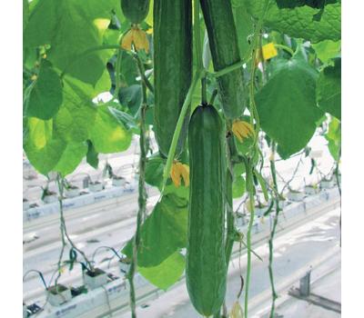 Неман F1 - семена огурца партенокарпического, 100 и 1 000 семян, Гавриш/Gavrish (Россия), фото 1