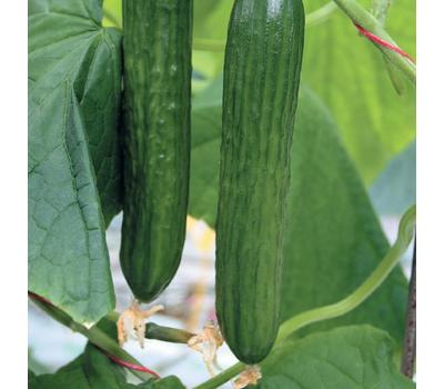 Танто F1 - семена огурца партенокарпического, 100 и 1 000 семян, Гавриш/Gavrish (Россия), фото 1