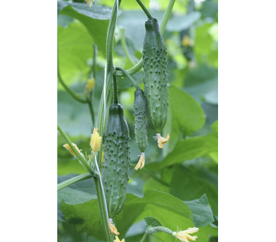 Картель F1 - семена огурца пчелоопыляемого, 1 000 семян, Гавриш/Gavrish (Россия), фото 1