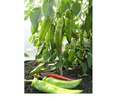 Кортик F1 - семена перца острого, Гавриш/Gavrish (Россия), фото 2