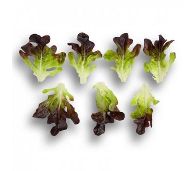 Ксерафин - салат дуболистый, 1 000 и 5 000 семян драже, Rijk Zwaan/Райк Цваан (Голландия), фото 2