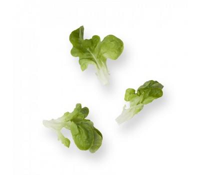 Кук - салат дуболистый, 1 000 и 5 000 семян (драже), Rijk Zwaan/Райк Цваан (Голландия), фото 2