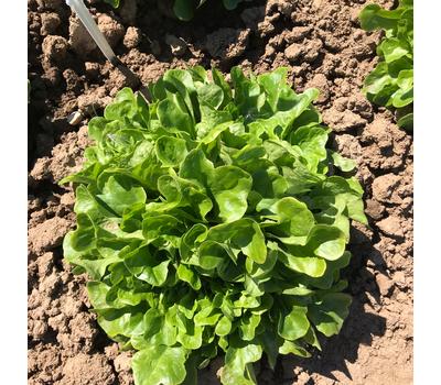Кук - салат дуболистый, 1 000 и 5 000 семян (драже), Rijk Zwaan/Райк Цваан (Голландия), фото 4