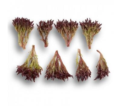 Триплекс - салат Саланова, 1 000 и 5 000 семян драже, Rijk Zwaan/Райк Цваан (Голландия), фото 2