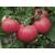 Торбей F1 - томат детерминантный, 1 000 семян, Bejo/Бейо (Голландия), фото 1