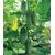 Мария F1 - семена огурца партенокарпический, 50 и 1000 семян, Sakata seeds/Саката сидз (Япония), фото 1