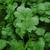 Санто - семена кориандра, 500 гр, Sakata seeds/Саката сидз (Япония), фото 1