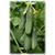 Кураж F1 - семена огурца партенокарпического, Гавриш/Gavrish (Россия), фото 1