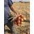 Хайджет F1 (Делфис F1) - семена лука репчатого, 250 000 семян, Holland Seeds, (Голландия), фото 4