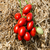 Санмино F1 - томат процессинг, 2 500 семян, Syngenta/Сингента (Голландия), фото 3