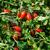 Санмино F1 - томат процессинг, 2 500 семян, Syngenta/Сингента (Голландия), фото 2