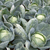 Анкома РЗ F1 - капуста белокочанная, 1 000, 2 500 и 10 000 семян, Rijk Zwaan/Райк Цваан (Голландия), фото 6