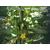 Блюз F1 - семена огурца партенокарпического, 1 000 семян, Гавриш/Gavrish (Россия), фото 1