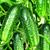 Блюз F1 - семена огурца партенокарпического, 1 000 семян, Гавриш/Gavrish (Россия), фото 2