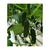 Баварец F1 - семена огурца партенокарпического, 100 и 1 000 семян, Гавриш/Gavrish (Россия), фото 3