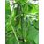 Карамболь F1 - семена огурца пчелоопыляемого, Гавриш/Gavrish (Россия), фото 5