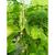 Карамболь F1 - семена огурца пчелоопыляемого, Гавриш/Gavrish (Россия), фото 1