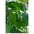 Казанова F1 - семена огурца пчелоопыляемого, 1 000 семян, Гавриш/Gavrish (Россия), фото 3