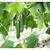 Хулиган F1 - семена огурца партенокарпического, 1 000 семян, Гавриш/Gavrish (Россия), фото 3