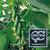 Хулиган F1 - семена огурца партенокарпического, 1 000 семян, Гавриш/Gavrish (Россия), фото 4