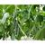Сайбер F1 - семена огурца партенокарпического, 1 000 семян, Гавриш/Gavrish (Россия), фото 3