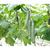 Тайгерс F1 - семена огурца партенокарпического, 1 000 семян, Гавриш/Gavrish (Россия), фото 1