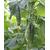 Картель F1 - семена огурца пчелоопыляемого, 1 000 семян, Гавриш/Gavrish (Россия), фото 2