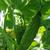 Казанова F1 - семена огурца пчелоопыляемого, 1 000 семян, Гавриш/Gavrish (Россия), фото 2