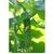 Казанова F1 - семена огурца пчелоопыляемого, 1 000 семян, Гавриш/Gavrish (Россия), фото 1