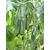 Магнит F1 - семена огурца пчелоопыляемого, Гавриш/Gavrish (Россия), фото 1