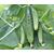 Магнит F1 - семена огурца пчелоопыляемого, Гавриш/Gavrish (Россия), фото 3