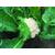 Опаал F1 - семена капусты цветной, Rijk Zwaan/Райк Цваан (Голландия), фото 2