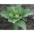 Опаал F1 - семена капусты цветной, Rijk Zwaan/Райк Цваан (Голландия), фото 4