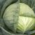 Септима F1 - капуста белокочанная, 1 000, 2500 и 10 000 семян, Rijk Zwaan/Райк Цваан (Голландия), фото 1