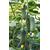 Сотник F1 - семена огурца партенокарпического, Гавриш/Gavrish (Россия), фото 1