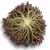 Триплекс - салат Саланова, 1 000 и 5 000 семян драже, Rijk Zwaan/Райк Цваан (Голландия), фото 3