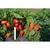 Кубано F1 - семена перца сладкого, Гавриш/Gavrish (Россия), фото 2