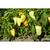 Фарон F1 - семена перца сладкого, 1 000 семян, Гавриш/Gavrish (Россия), фото 4